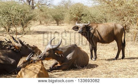 Wild buffalo resting in a national reserve in Senegal Africa.
