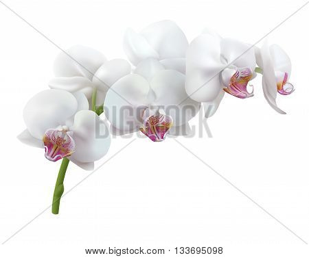 White orchid flowers. Stem of blooming Phalaenopsis with white flowers, isolated on white background. Vector illustration.