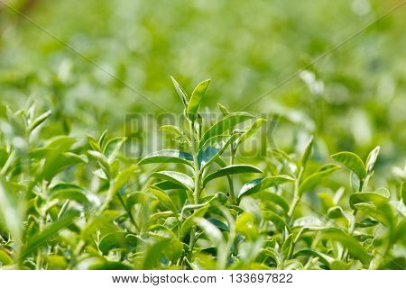 Tea plant (Camellia sinensis var. sinensis / Chinese tea) the plant that use to produce aromatic beverage