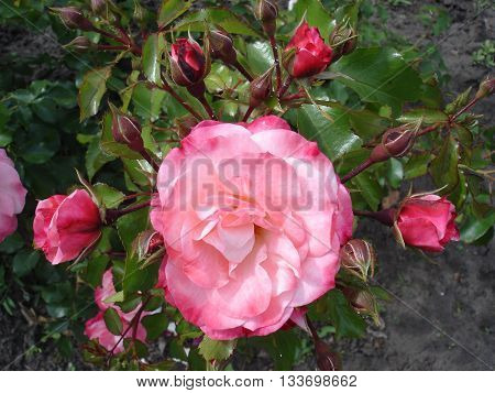 Our Rosy Carpet Rose buds and flowers.