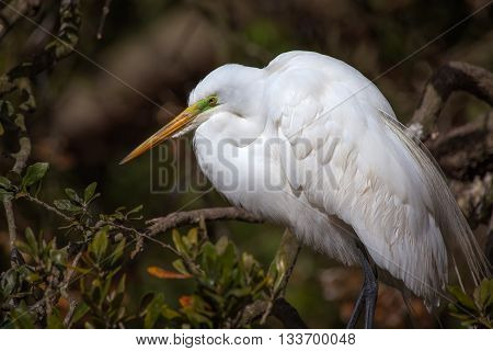 Great egret rests showing off its beautiful breeding colors