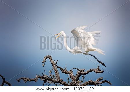 Great egret flies away from nesting area