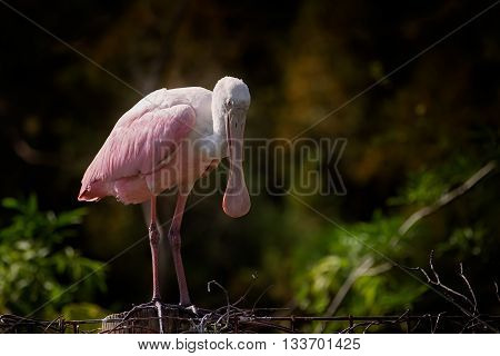 Pink roseate spoonbill stands on a fence and sleeps
