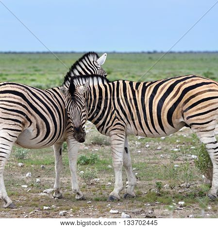 Damara zebras at sunrise Equus burchelli Etosha national park Namibia
