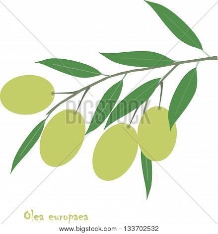 Oliva europaea branch with green fruit and leafs on white, object isolation, vector