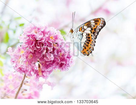 Beautiful butterfly resting on pink trumpet flower or tatebuia rosea