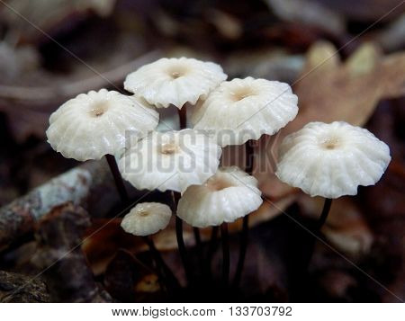 Troop of Marasmius rotula aka Pinwheel mushroom after rainfall