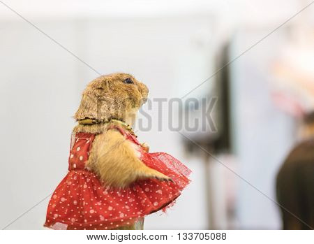 Closeup prairie dog with red dress in blurred animal fair