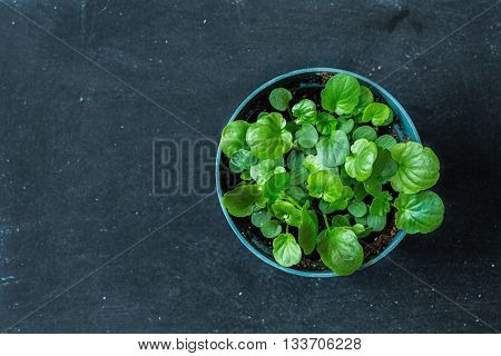 A small pot full of pansy seedlings on a blackboard background.