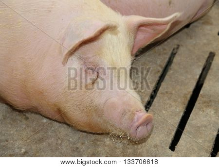 Fat And Tired Asleep Pig In Pig-breeding Farm