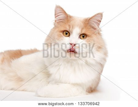 Ginger White Cat isolated over white background.. Animal portrait.