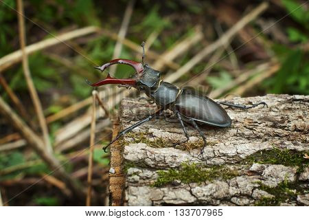 Male stag beetle with huge horns on the oak.