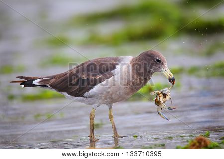 Belcher's Gull Eating Crab On The Beach Of Paracas Bay, Peru