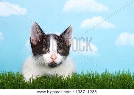 black and white tabby kitten in tall grass with blue sky background white fluffy clouds. crouched down to pounce