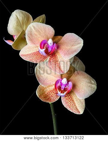 Close up of a beautiful blooming Cream colored Phalaenopsis