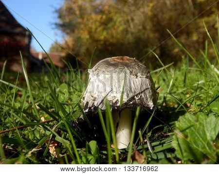 Coprinus comatus aka Shaggy Ink Cap Mushroom or Judges Wig