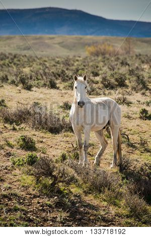 White horse in early morning running free on sage brush prairie