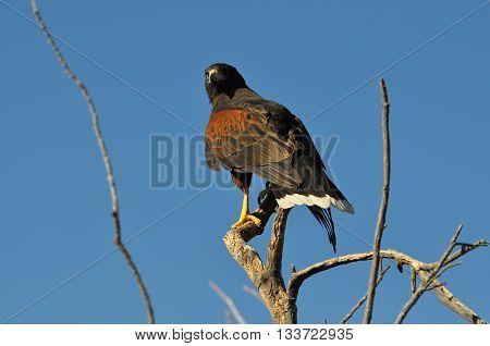 Harris Hawk perched on dead tree in southern Arizona