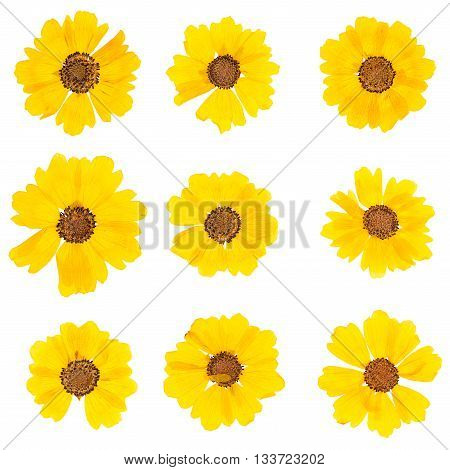 Set heads of dried pressed yellow flowers isolated