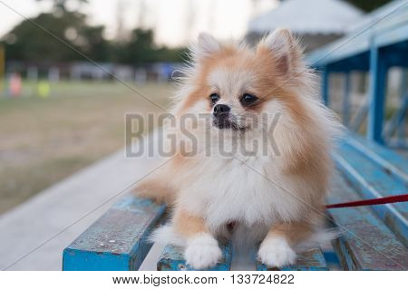 pomeranian dog sitting on amphitheater in the garden