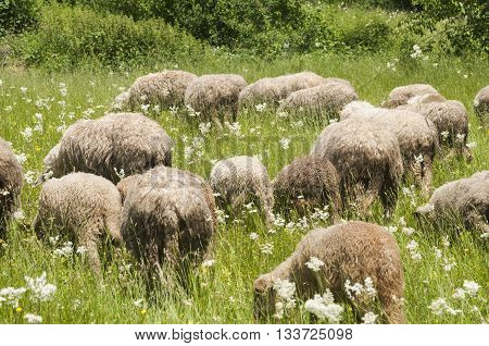 Sheep grazing on lush mountain meadow background