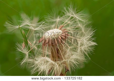 Seed head of a dandelion growing wild in a hedgerow in the grass