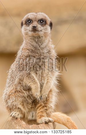Meerkat in captivity sitting up on a rock