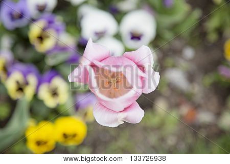 Tulip. Beautiful bouquet of tulips. colorful tulips. tulips in spring,colorful tulip. flower.