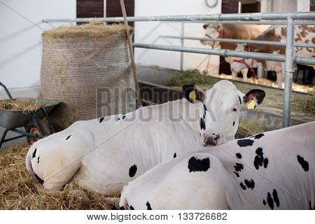 Holstein Friesian Cattle In Stable