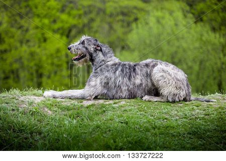 Irish Wolfhound lies on a green grass on a green background