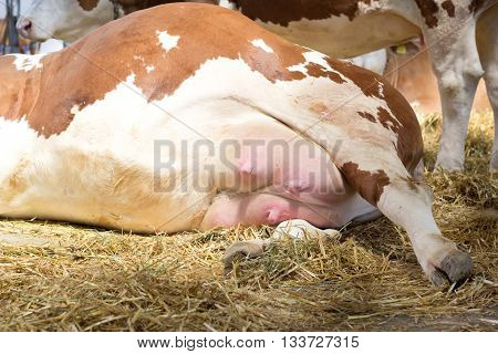 Simmental Cow's Udder