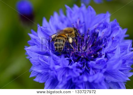 Beautiful blue cornflower (Centaurea cyanus) with busy bee collecting pollen against out of focus background.