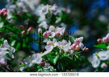 Flowers Of Apple Tree Blossom