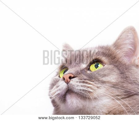Muzzle of the gray cat looking up. White background copy space at the left and above