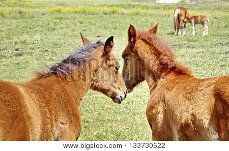 two caring stallion and the horse in the background feeding a small foal