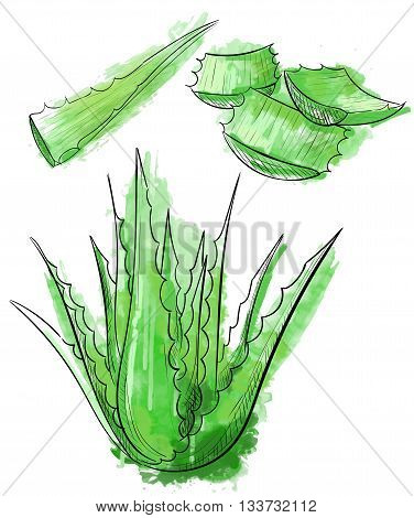 Vector hand drawn botanical Aloe Vera. Engraved collection. Aloe Vera banner poster label brochure template for business promote.