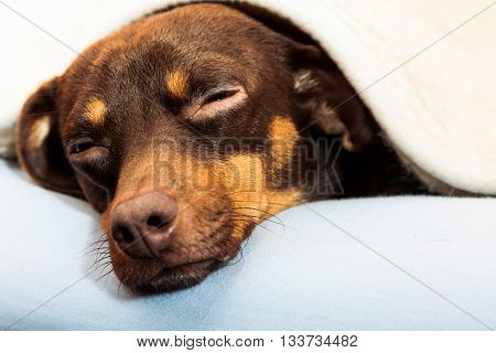 Animals at home. Dachshund chihuahua and shih tzu mixed dog relaxing sleeping on bed under woolen blanket indoor