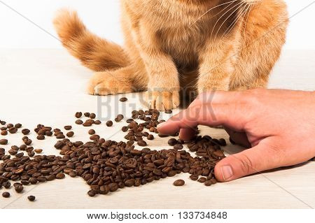 The red-haired fluffy cat like coffee beans