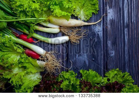 Fresh bunches of lollo rosso spring onions and radishes wet on wooden table background