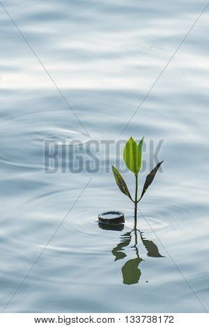 Mangrove sprout in the water at mangrove forest in Thailand.
