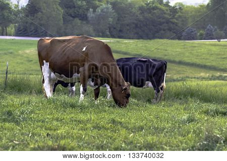 Holstein dairy cows grazing in a pasture