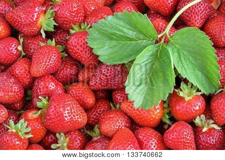 Fresh strawberry harvest, box of berries with stems and a plant leaf