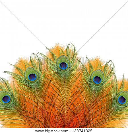 Peacock feathers. Peacock. India