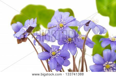 flower Hepatica nobilis on a white background