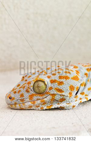 Focused Eye And Head Gecko Or Gecko Verticillatus, Orange And Grey Colour Dot Knotted Or Ragged Skin