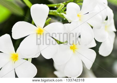 plumeria flower or pagoda tree in blur background