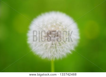 nature flower dandelions growing in the meadow