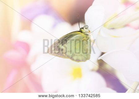 Focused At Eye And Head Closeup Single Yellow And Black Butterfly Catching On Blurred White Flower W