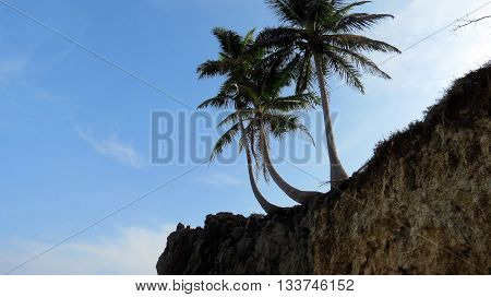 Coconut palm tree on an eroded beach cliff.