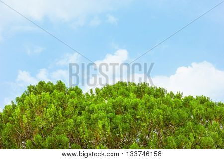 Green leaves of Thuja Trees, sky background